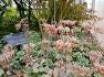 [대구수목원] 종교관련식물원 온실에 열대의 다육질의 꽃식물 돌나물과에 속하는 앙증맞은 칠변초(가랑코), 꽃.