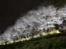 양채전 벚꽃 등축제,아트조각전,Cherry blossom,art sculpture,festival,수변무대