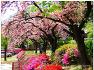 왕벚꽃 - 월곡역사공원, 월곡역사 박물관(낙동서원 앞)