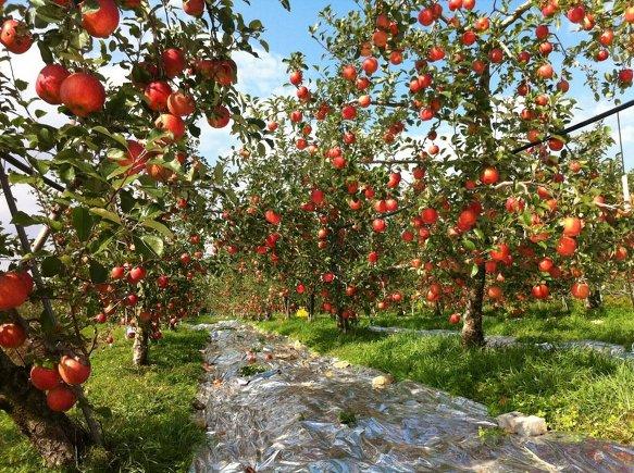 형님댁 사과 과수원 풍경 ...얼음골 사과보다 훨씬더 맛있어요
