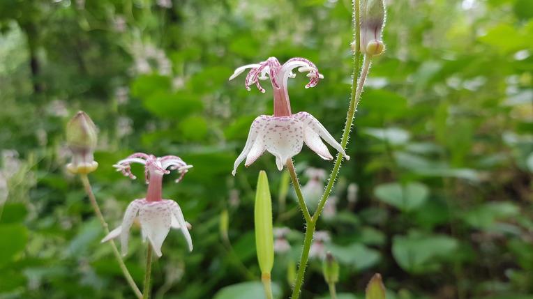 대구수목원에 꽃잎의 반점이 뻐꾸기의 깃털에 난 무늬를 닮앗다는 한국 특산품 연한자색의 뻐꾹나리,꽃,효능,유래.