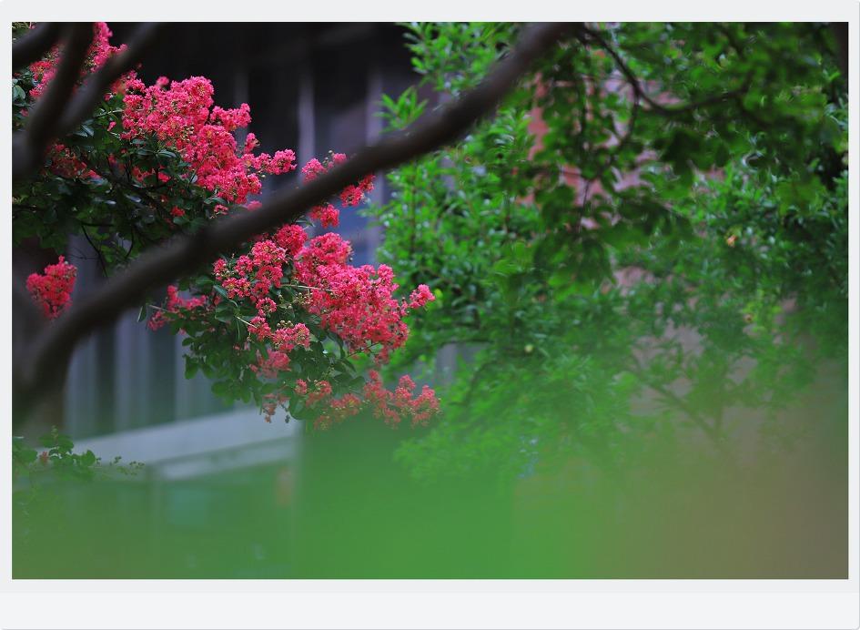 배롱나무가있는풍경