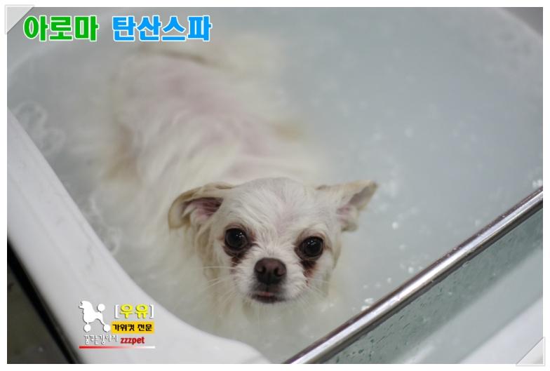 """대전 """"우유"""" 말티 탄산스파♪ 애견미용, 가위컷전문점 [꿈꾸는강아지]"""